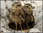 Burrowing owls in 'Hoot' - Photo by New Line Cinema