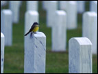 daily Devotion tombstones in a cemetery with a yellow breasted bird perched on a tombstone