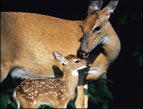 daily Devotion image of a doe and fawn deer