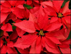 Poinsettias from God
