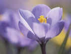 crocus purple flower