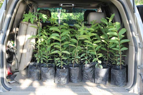 guava tree saplings