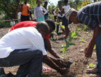 Haitian men planting sapling fruit trees