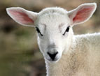 Names of God Devotion - Jehovah Jireh - image of young white lamb