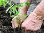 person planting tomato seedlings into rich dark soil