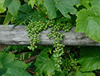 grape vine over fence