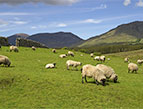 sheep grazing in a meadow