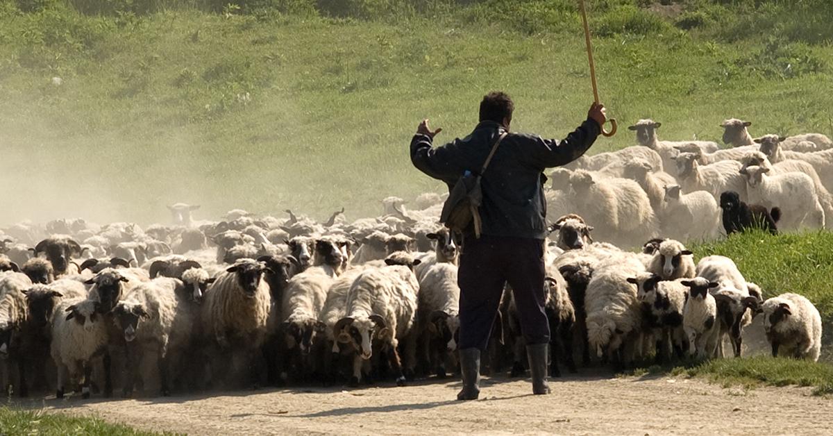 A Crash Course in Shepherding   CBN.com